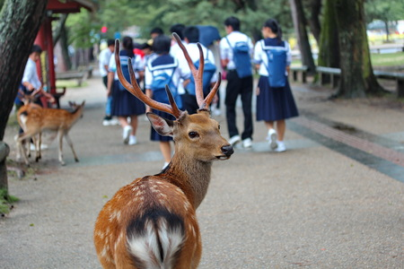 the merciful: Deer in front of student and tourist at wayside of Nara park,Japan.Selective focus.