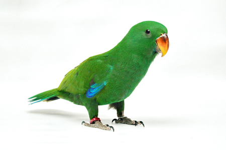Male Eclectus Parrot, age two months on white background. Selective focus.