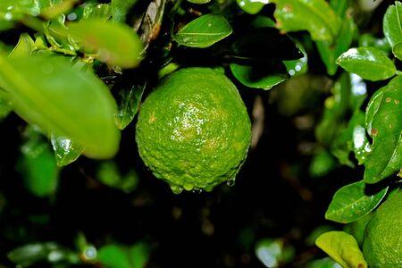 leech: Kaffir lime gardening, Kaffir lime fruits or  bergamot fruits  with water drop on tree.