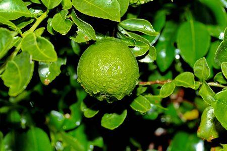 Kaffir lime gardening, Kaffir lime fruits or  bergamot fruits  with water drop on tree.