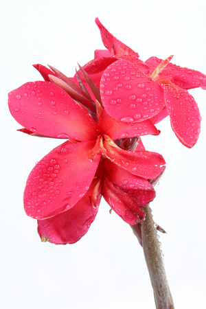 reddish: Reddish pink Canna Lily fower with drop of water isolated on white background.
