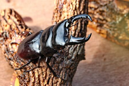 strongest: Handmade ,The beautiful beetle staffing ,Staffed Dorcus titanus typhon stag beetle ,male , perched on branches. Selective focus at mandible of beetle