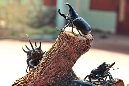 strongest: Handmade ,The beautiful beetle staffing ,Staffed Rhinoceros beetle ,male , perched on stump. Selective focus.  Stock Photo