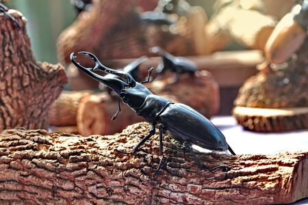 the strongest: Handmade ,The beautiful beetle staffing ,Staffed giraffa mandible beetle ,male , perched on branches. Selective focus. Stock Photo