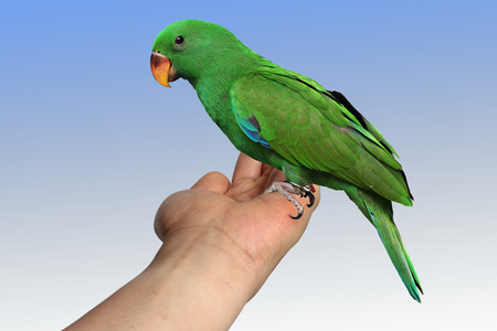 Male Eclectus Parrot, age two months,on hand .