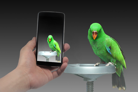 eclectus parrot: Use phone to take Photo beautiful  green Parrot, Male Eclectus Parrot. for share to social network. Stock Photo