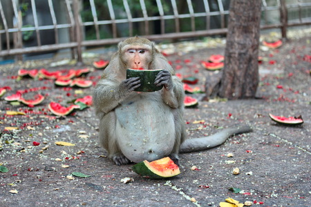 pan paniscus: Pregnant Monkey enjoy to be eating watermelon on the sideway. Stock Photo