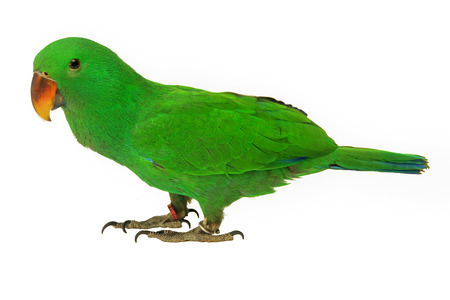Male Eclectus Parrot, age five months on white background. Selective focus.
