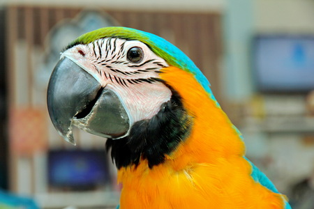 color photographs: 3 Months male blue and yellow macaw parrot in house.  Beautiful color photographs detailing the head, neck and upper chest, wings of a bird. Selective focus.