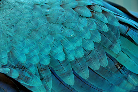 color photographs: 3 Months male blue and yellow macaw parrot in house. Beautiful color photographs detailing the outer feathers of birds.  Selective focus. Stock Photo