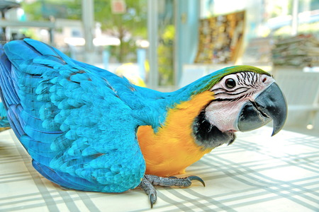 3 Months male blue and yellow macaw parrot in house.  Bird sitting on a dining table legs and wiggle sound  as a child in a good mood. Selective focus. Stock Photo