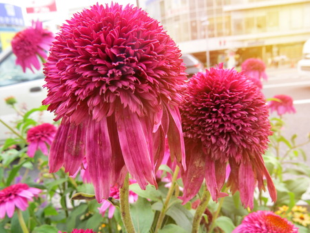 Colorful flowers are magenta in the garden by the sidewalk between travel  at Sannomiya ,Kobe ,Japan. Selective focus.