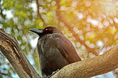 corvo imperiale: Fotografie retroilluminate Corona giapponese la mattina i ramoscelli, lungo la strada tra il marciapiede viaggio al Palazzo Imperiale, Kyoto, Giappone. Messa a fuoco selettiva.