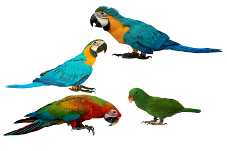 Colorful parrots as 2 male blue and yellow macaw parrot , red and blue macaw parrot and male eclectus parrot isolated on white background. Stock Photo
