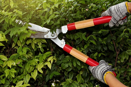 Pruning of ornamental trees by scissors Stock Photo