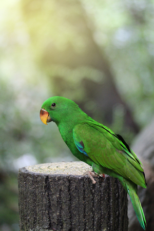 Male Eclectus Parrot, age three months in Natural Park. Selective Focus. Stock Photo