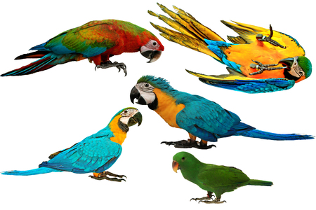 Isolated lovely and Colorful parrots as 2 male blue and yellow macaw parrot , red and blue macaw parrot and male eclectus parrot isolated on white background. Stock Photo