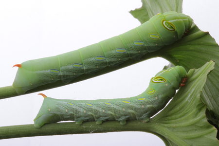 2 green caterpillars climb on the stems, green leaves.