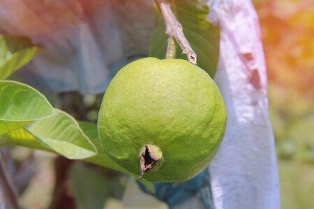 Guava Kim Ju fruit on tree in the garden.
