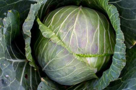 green cabbage: close-up green cabbage