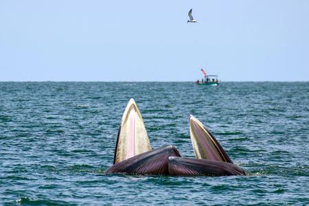 Blueda whale photo