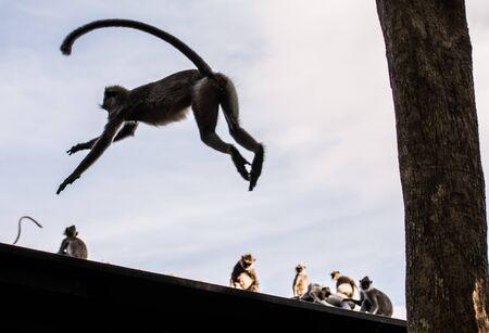 jumping monkeys: monkey jump Stock Photo