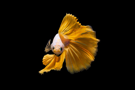 Yellow Rose tail betta swim motion isolated on black background with clipping path Stock Photo