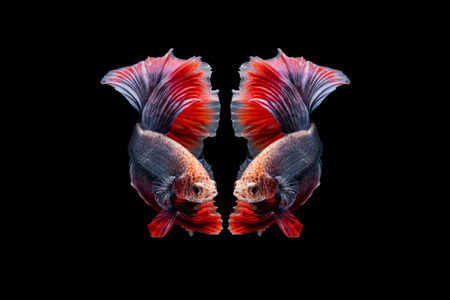 Red lavender halfmoon betta swim motion reflect by itself isolated on black background with clipping path