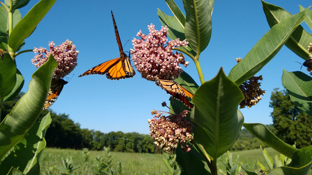 milkweed butterfly: Monarch butterfly and Milkweed