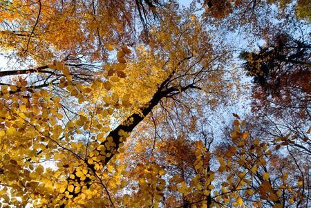 Autumn scene with golden beech trees and blue sky Stock Photo - 3999287