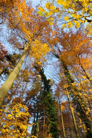 Colorful autumn scene with golden beech trees and blue sky Stock Photo - 3999286