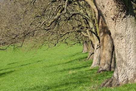 Row of apple trees on a green meadow in early spring Stock Photo - 4060675