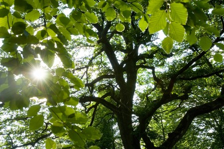 Forest scene containing the sun shining through the leaves of 2 trees Stock Photo - 4074465