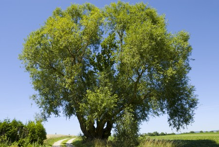 Old willow in nice weather with blue sky in the background Stock Photo - 4074467
