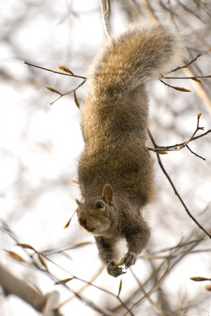 dangling: Cute squirrel dangling upside down and peering