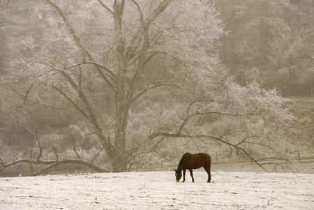 Lonely horse looking for grass in the snow, with beautiful tree in the background photo