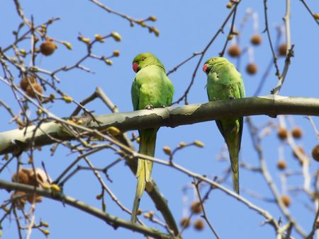 courting: Two green parrots sitting on a branch with blue sky background, one courting the other