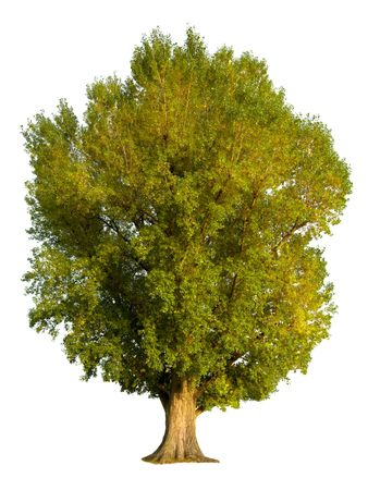 arbol alamo: Las grandes alamedas de �rboles viejos, aisladas sobre fondo blanco puro