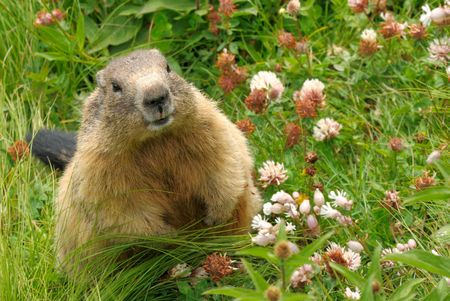 Cute groundhog happily surrounded by fresh grass and wild flowers