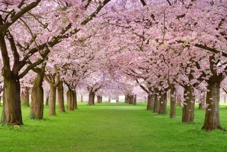 Lignes de cerisiers magnifiquement florissant sur une pelouse verte  Banque d'images