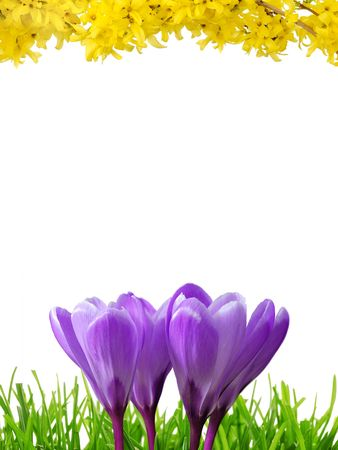 Border with white copy space, composed of crocuses, grass and forsythia photo