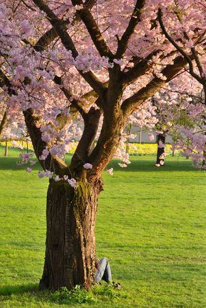 Beautifully blossoming cherry tree on green meadow at warm sunlight photo