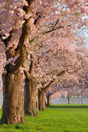 Row of beautifully blossoming cherry trees on a green lawn photo