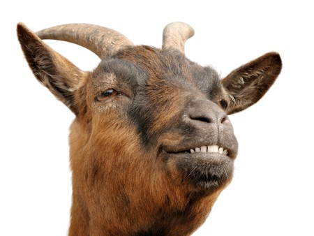 Cute animal portrait of a small goat looking happy and cheerful