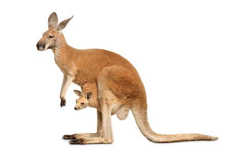 Canguro rojo llevando un lindo Joey, aislado en blanco limpio