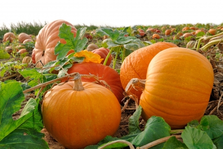 pumpkin: Pumpkin plants with rich harvest on a field