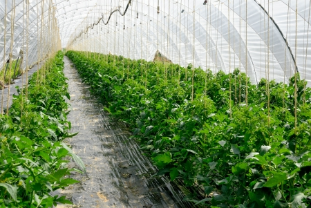 plants growing: Rows of young tomato plants growing in a long greenhouse Stock Photo