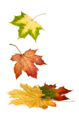 leaves falling: Isolated maple leaves in bright vibrant autumnal colors falling down