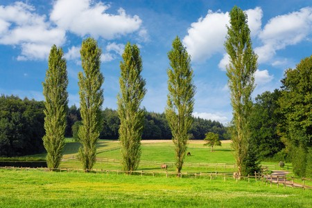 poplar: Summer landscape with a paddock at the edge of a wood, blue sky and a row of tall poplar trees