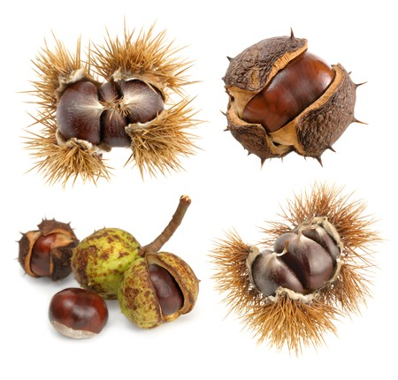 buckeye seed: Chestnuts in their natural shells as a set of four isolated studio shots Stock Photo